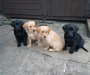 10 Labrador retriever puppies for Adoption