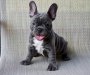 Active Blue and Cream French Bulldogs Puppies