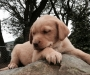 Adopt our 12wk old Labrador puppies