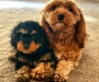 Beautiful Cavoodle puppies for rehoming