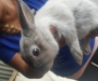 Bunnies from 6 weeks to 16 weeks very young f