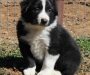 CUTE AND ADORABLE BORDER COLLIE PUPPIES FOR SALE