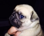 Chunky PUG Puppy With Health Tested Lines