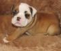 Cute English Bulldog puppies Available