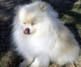 Cute and Adorable  Pomeranian Puppies