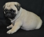 Fawn Pug Puppies for Sale