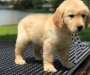 Golden Retriever Puppies for Sale Ready Now