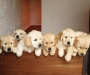 Golden Retriever Puppies (can freight AU wide)