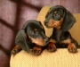 Healthy miniature Dachshund puppies for sale