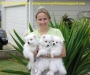 Japanese Spitz pure breed puppies