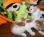 Kittens manx m & f pure breed no tails/tail