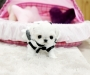 Kutie Kassara. A teacup Maltese puppy for