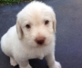 Labradoodle Puppies for Sale- Ready 29/1/16