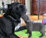 Lovely Cane Corso Puppies available for homes