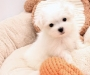 Lovely Maltese and Yorkie Puppies Available