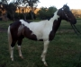 Loving pinto x appy gelding up for sale