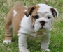 M/f English Bull dog puppies for sale