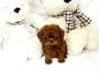 Micro Teacup Poodles for sale