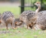 Ostrich chickens and fertile eggs for sale