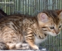 Pedigree Bengal Kittens Available males females