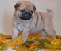 Pug puppies available for sale