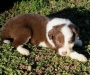 Pure BORDER COLLIE PUPPIES FOR SALE
