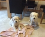 Pure Breed Golden Retriever Pups
