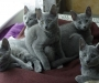 Pure breed M/F Russian Blue Kitten Available