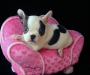 Purebred French Bulldog Puppies for sale