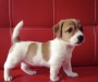 Purebred Males And Females jack Russell pups