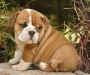 Solid English Bulldog puppies ready to go now