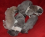 Stunning Whippet puppies for sale
