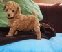 Toy Poodle Red Male Puppy