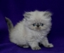Two Adorable Persian Kittens Available