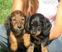 Two Miniature Dachshund Puppies for Sale