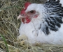 Wanted Light Sussex Pullets