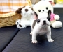 Young french Bulldog puppy for new home